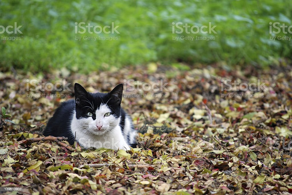 cat in autumn leaves royalty-free stock photo