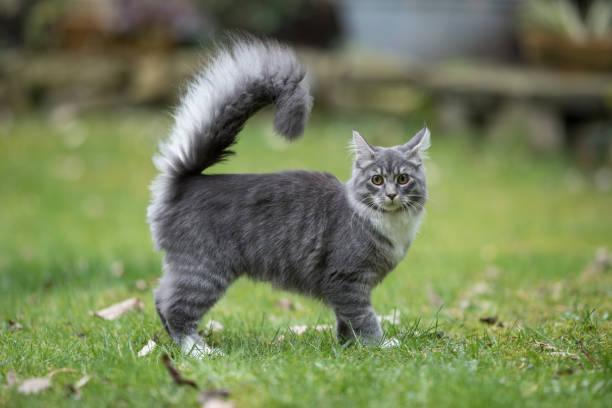 katze im garten - grau getigerte katzen stock-fotos und bilder