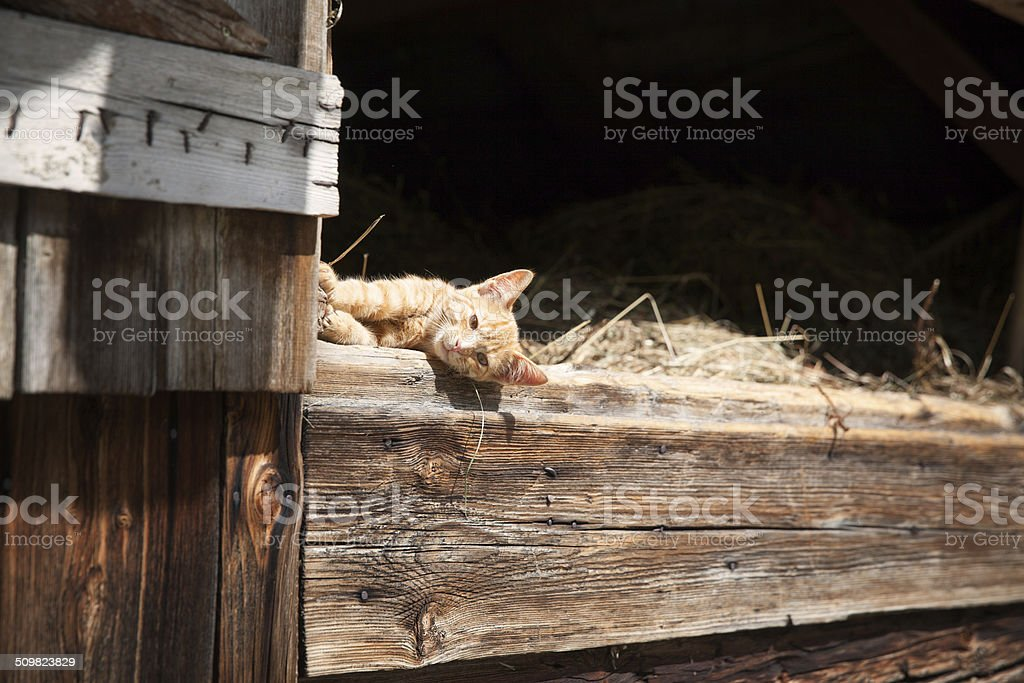 Cat in Barn stock photo
