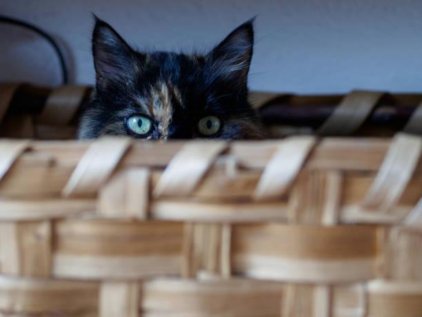 Cat in basket in milan picture id860661292?b=1&k=6&m=860661292&s=612x612&w=0&h=wqp6yt 4iq ramlammpvc75tbqmlgftrjcweqxq 1kq=