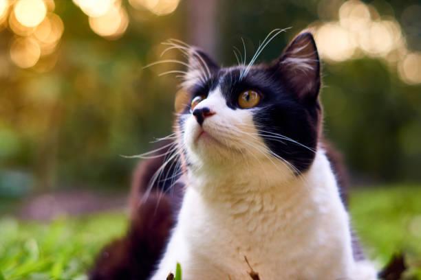 Katze im schwarzen und weißen Farben nachschlagen – Foto