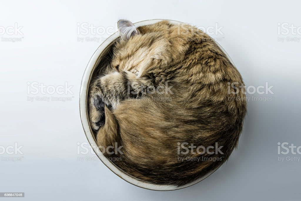 cat in bowl stock photo