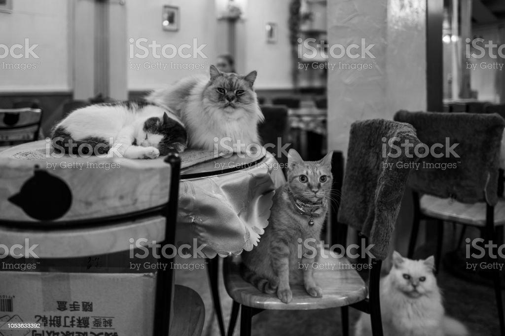 Katze im Katzen-Café in Taipeh, Taiwan. – Foto