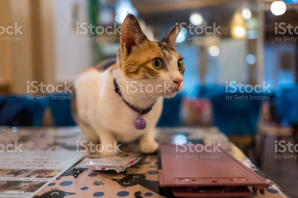 cat in cat cafe in Taipei, Taiwan. stock photo