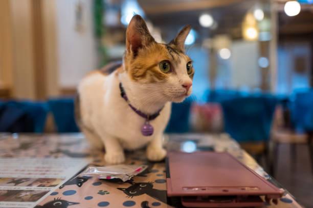 cat in cat cafe in Taipei, Taiwan. stock photo