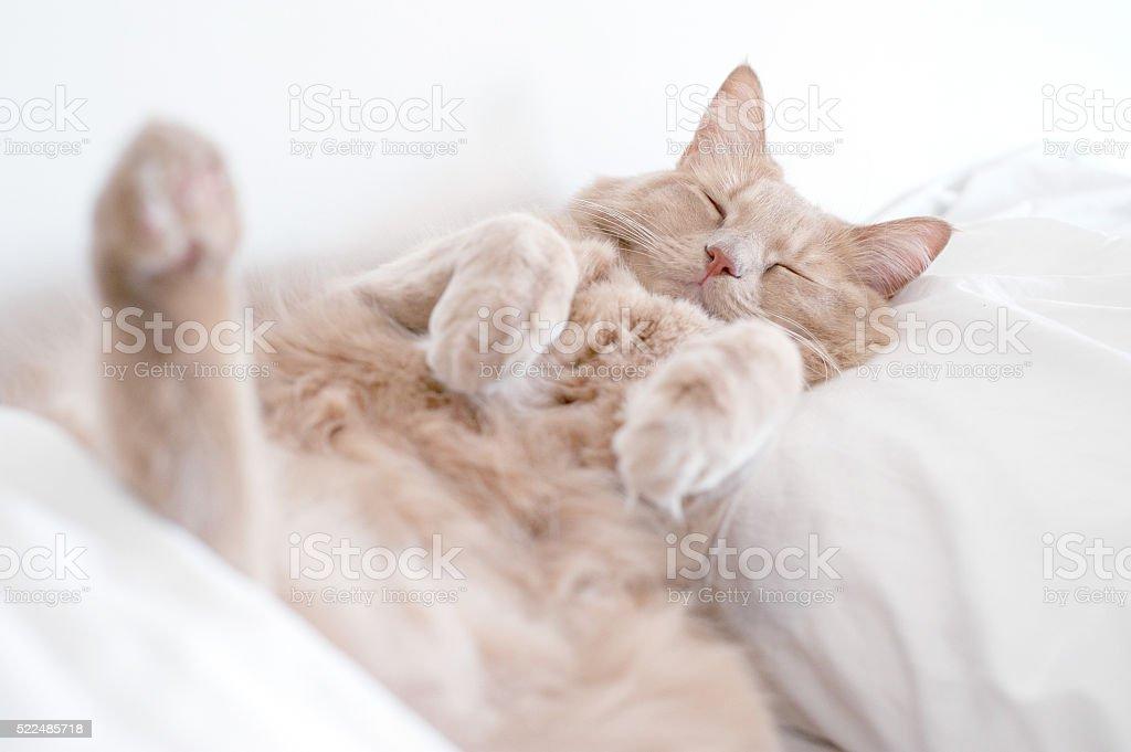Gato de sono profundo foto de stock royalty-free