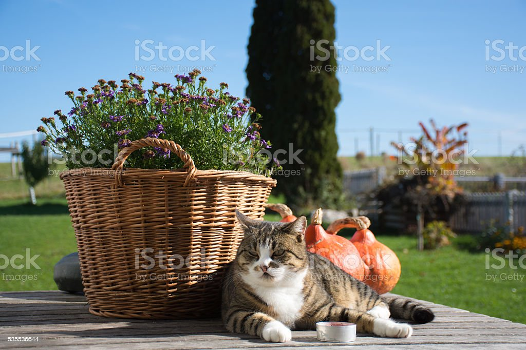 Cat in front of a flower basket and pumkins stock photo