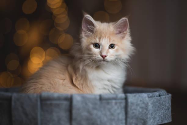 Cat in front of bokeh lights picture id1085265522?b=1&k=6&m=1085265522&s=612x612&w=0&h=9qsels7r i vvmoienmgymyusneruksxncjehoabxdg=