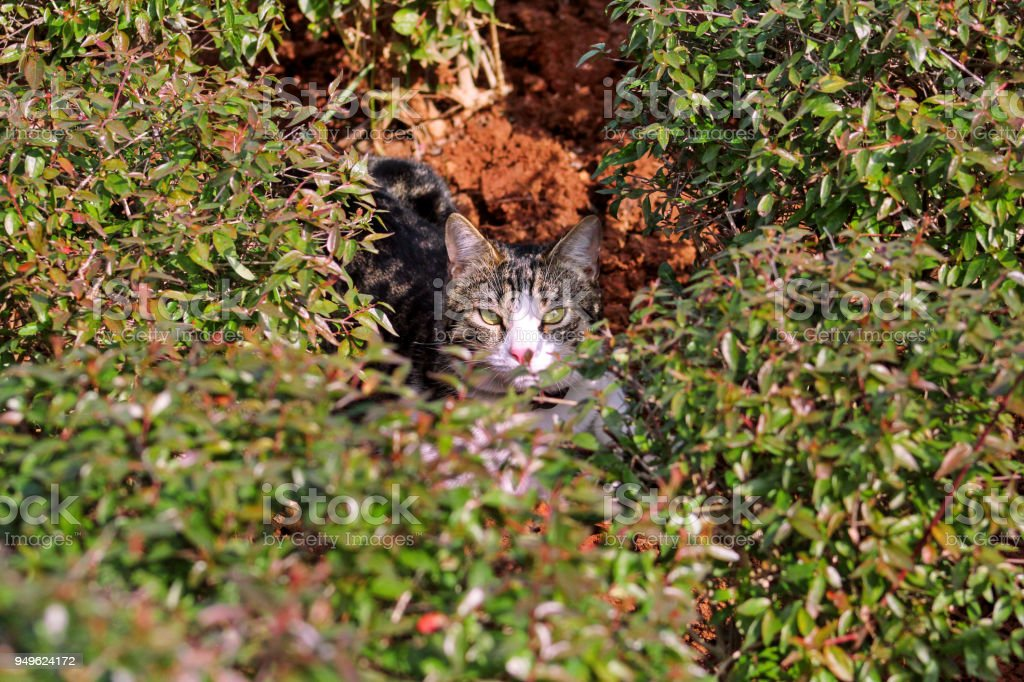 Cat in garden / Hidden tiger cat in house garden, behind green leaves / Street kitty is also hidden in grass and looking up straight in camera / Pet animals. stock photo