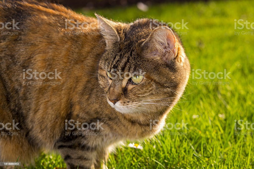 Cat In Grass Wallpaper royalty-free stock photo
