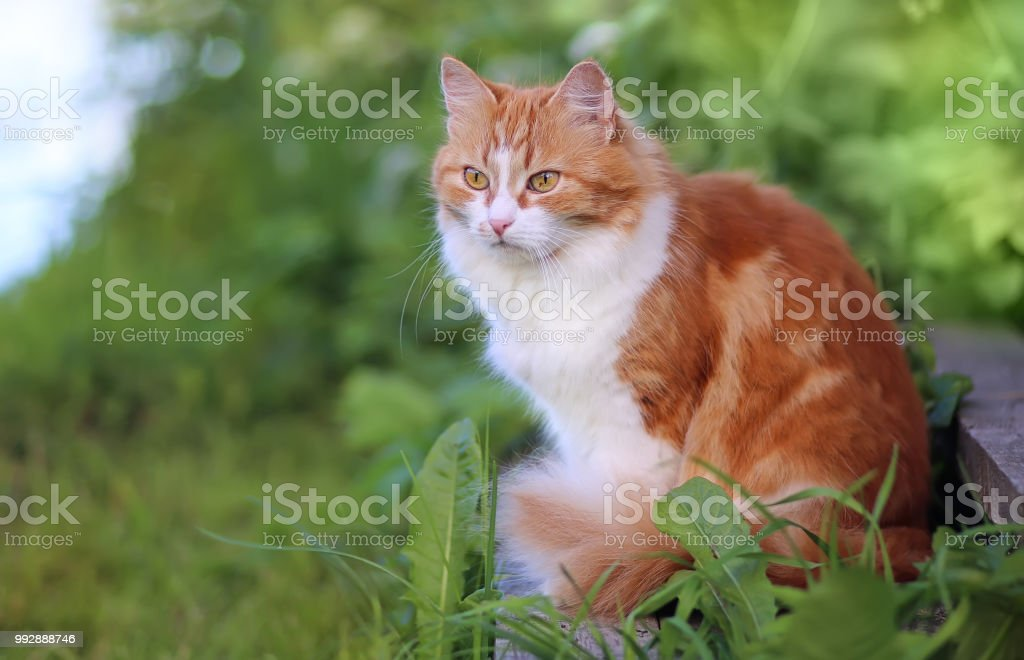 Cat in Green Grass in Summer. Beautiful Red Cat with Yellow Eyes stock photo