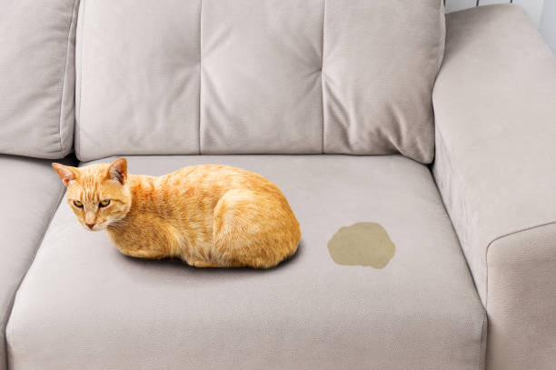cat in heat pissing on the couch stock photo