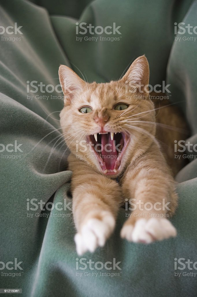 Cat in laundry yawning stock photo