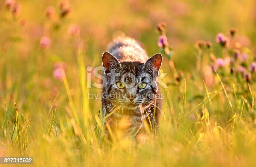 Domestic cat in meadow, back lit by golden summer evening light