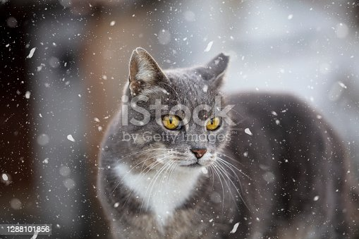 Cat in snow in winter, outdoors during snowfall.