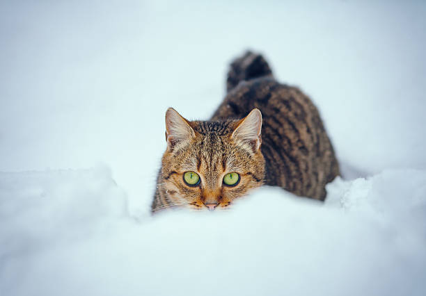 Cat in snow picture id486787592?b=1&k=6&m=486787592&s=612x612&w=0&h=lh5jrkepcxnhngjs lq wssefukudzcsw 8ajl1rjuc=