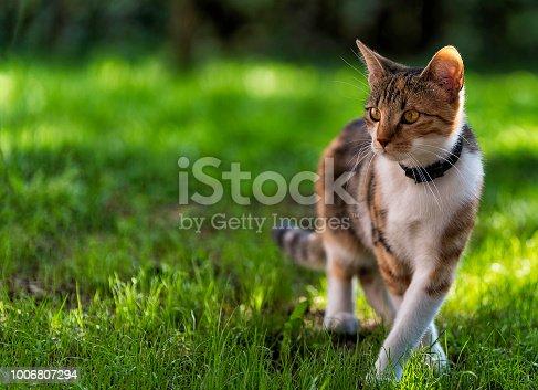 Elegant looking three colour fur cat walking through grass