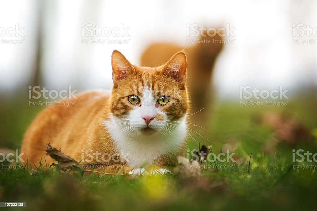 cat in the grass royalty-free stock photo