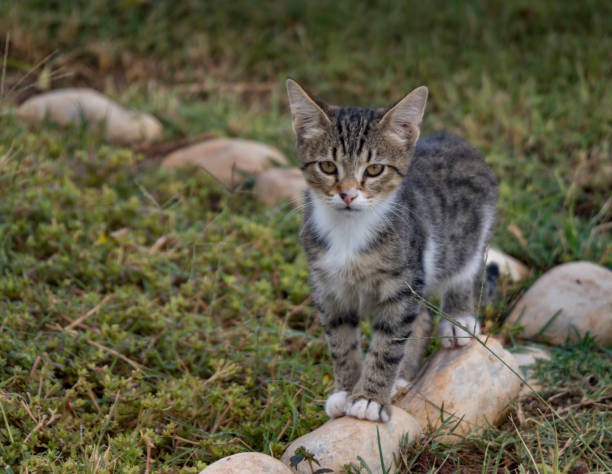 kedi çim - serpilguler stok fotoğraflar ve resimler