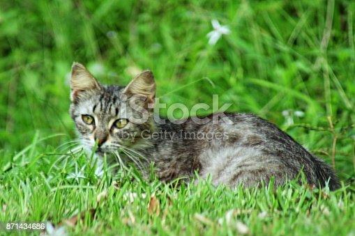 istock Cat in the Grass 871434686