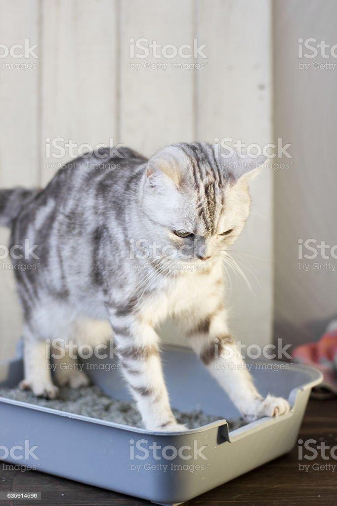 Cat in the litter box. - foto de acervo