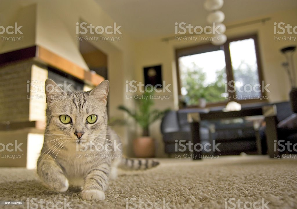 Cat in the living room stock photo