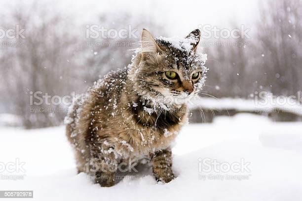 Cat in the snow picture id505792978?b=1&k=6&m=505792978&s=612x612&h=gv6sfpex5plnye hxwe v2eutrm1uwhzwjvsymkhd1e=