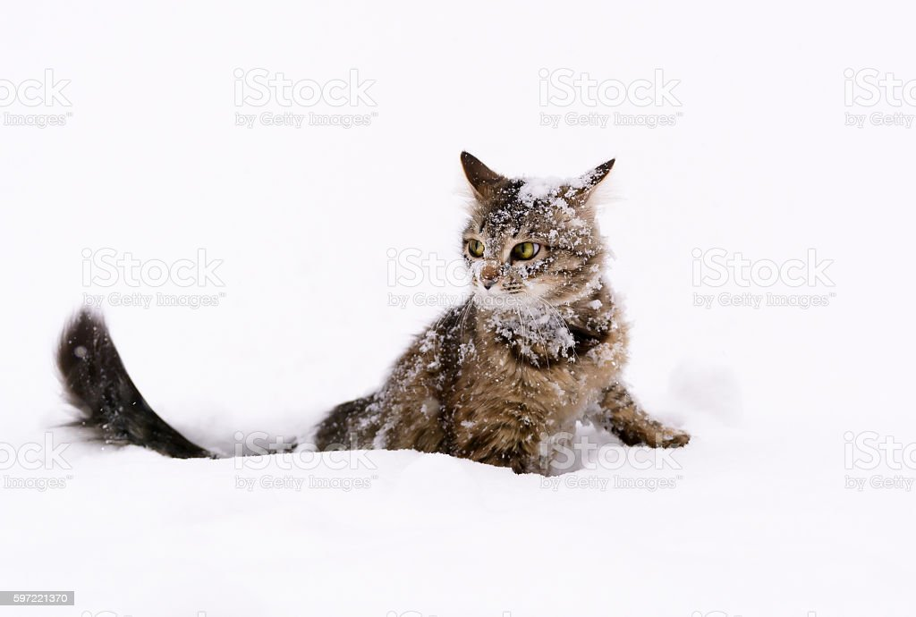Cat in the snow stock photo