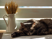 Cat in the sun. Portrait of a large, gray cat. On the table a jug with a bouquet of ears of wheat. Cat happy