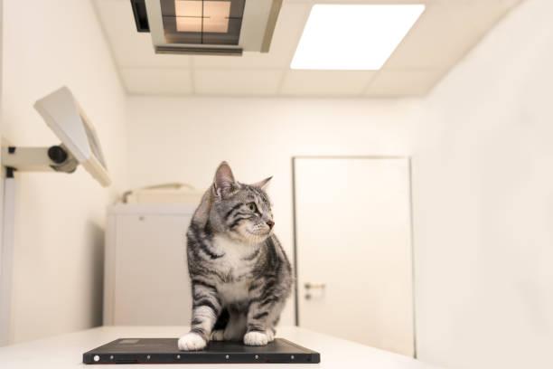 Katze in der Tierarztpraxis. Tierarzt ist Röntgen das Tier – Foto