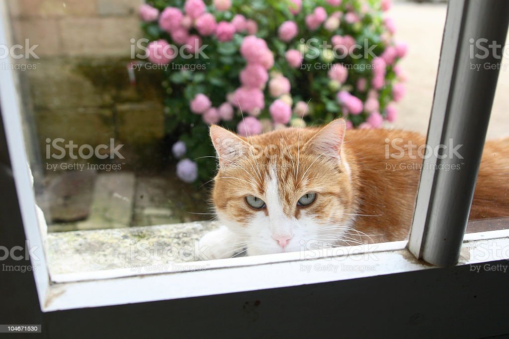 Cat in the Window royalty-free stock photo