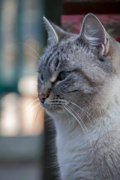 cat in venice - batalina cats стоковые фото и изображения