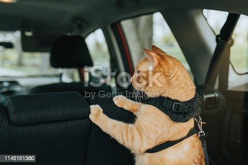 Cat inside the car