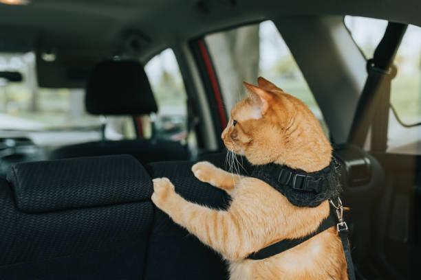 Cat inside the car stock photo