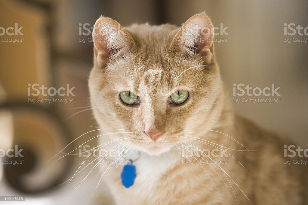 Cat intent stare stock photo