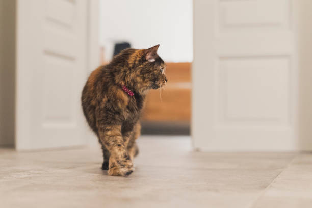 Cat investigating A tortoiseshell walking around the room tortoiseshell cat stock pictures, royalty-free photos & images