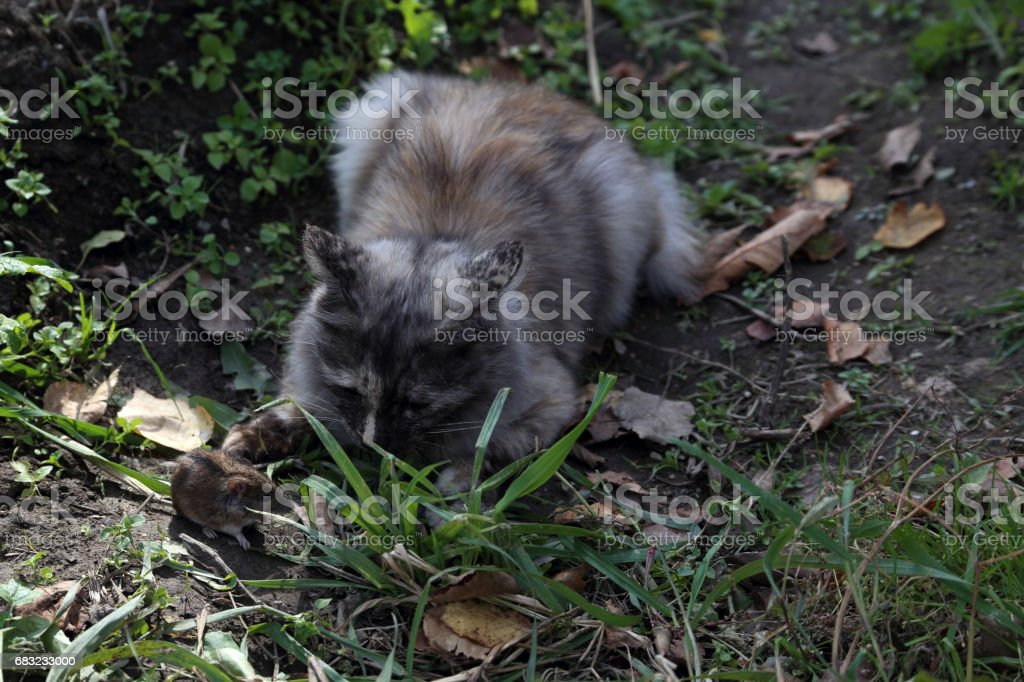 Cat is catching mouse 免版稅 stock photo