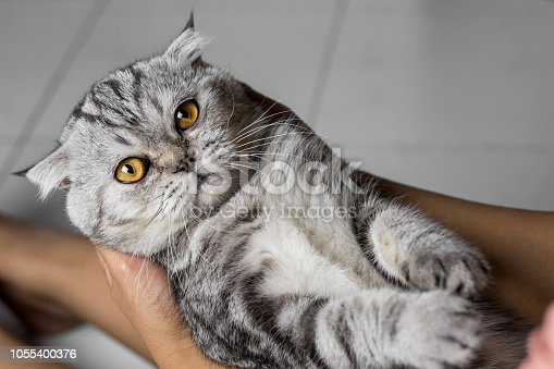 Scottish fold cat is holding in her arms. Cat is on the hand and are happy. Lovely cat in her arms.