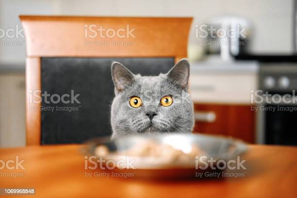Cat is looking at food cat watches over the food sly beautiful gray picture id1069968848?b=1&k=6&m=1069968848&s=612x612&h=dg0nnwpvrzo0xthajnly0unpwe vq9cg1dxupoyw2w8=