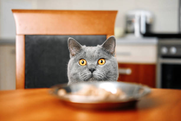 Cat is looking at food cat watches over the food sly beautiful gray picture id1069968848?b=1&k=6&m=1069968848&s=612x612&w=0&h=nuahrmqilo1obecfjcriu kuzj8opg6x ndq147uv g=