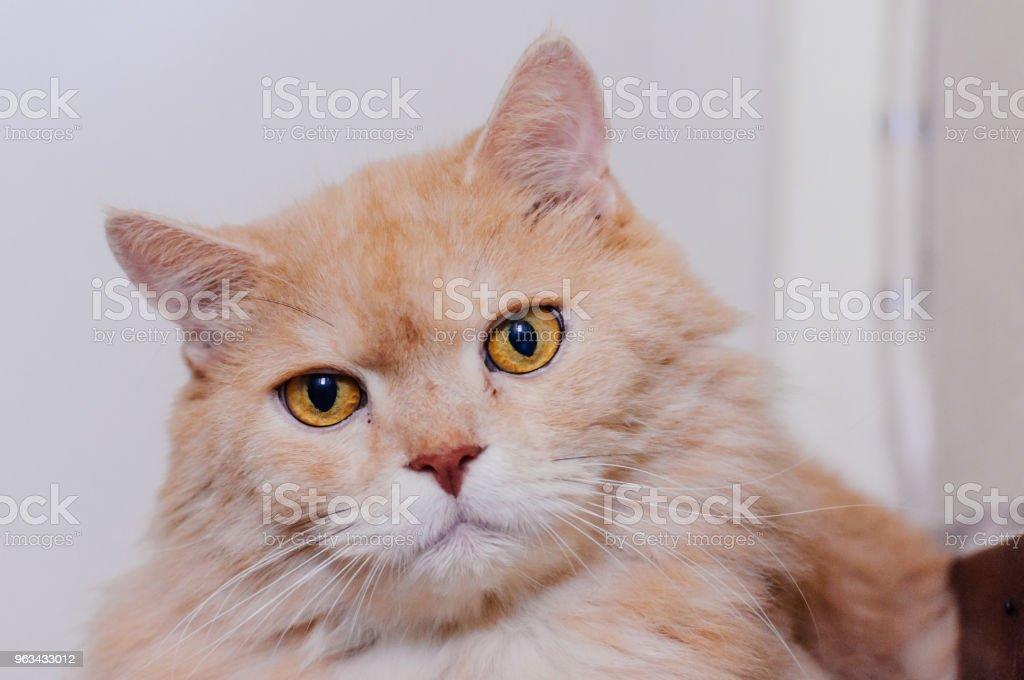 Kot czegoś szuka , kot - Zbiór zdjęć royalty-free (Białe tło)