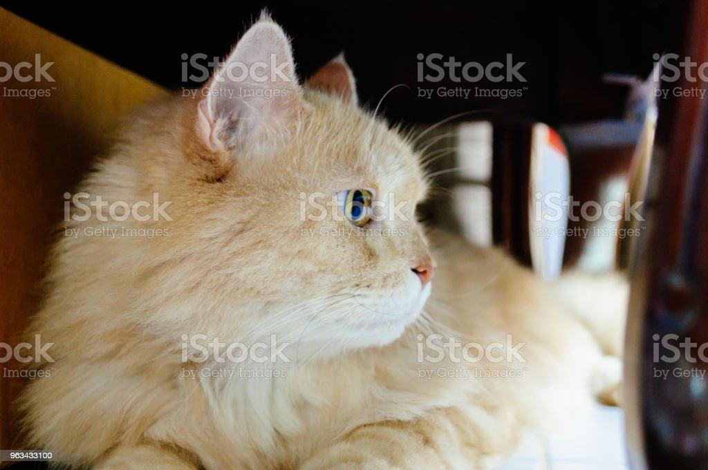 Kot czegoś szuka - Zbiór zdjęć royalty-free (Białe tło)