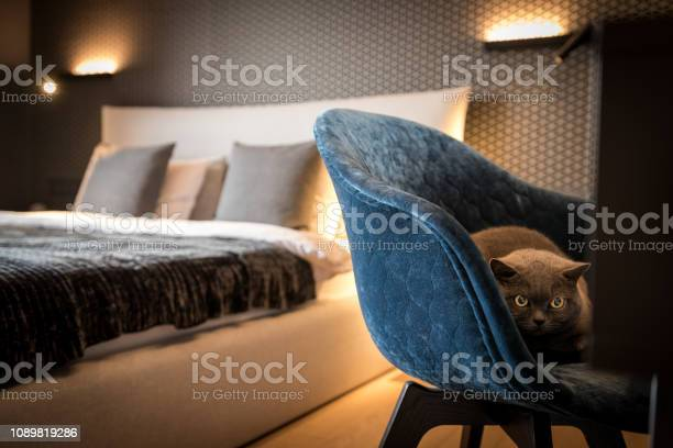 Cat is sitting on the armchair in the bedroom stock image picture id1089819286?b=1&k=6&m=1089819286&s=612x612&h=nntiqdbmer0befeao84uagmltc7tx3m2uo4z5grkyea=