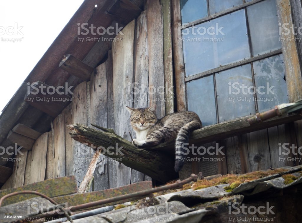 cat is sleeping. the roof of the old barn stock photo