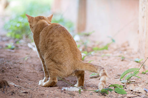cats peeing Male