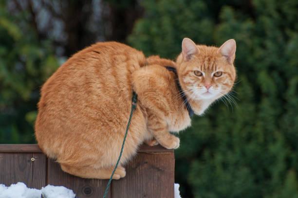 katze ist im garten an der leine spazieren. katze läuft im freien - katzengeschirr stock-fotos und bilder