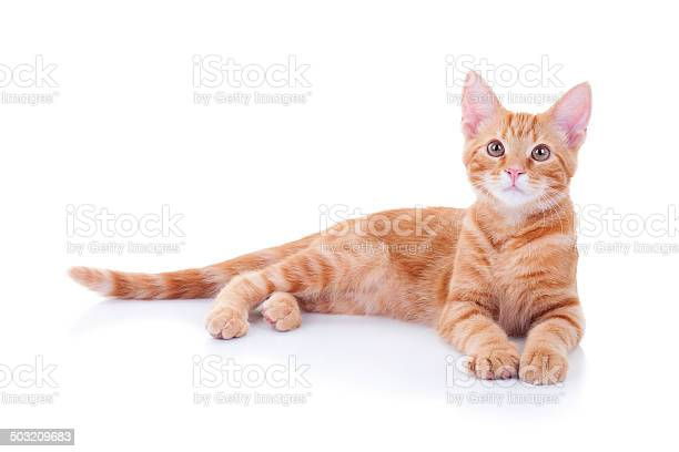 Cat isolated on white picture id503209683?b=1&k=6&m=503209683&s=612x612&h=xssfckmiztbhrror5fwfgl90t8y5clghb4qh8as7tha=