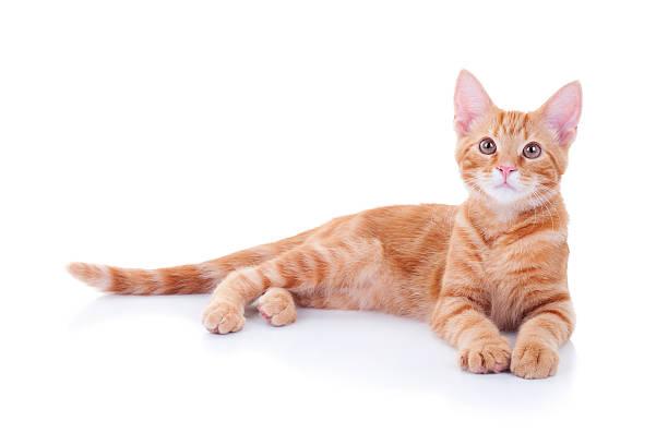 cat isolated on white - yatmak stok fotoğraflar ve resimler