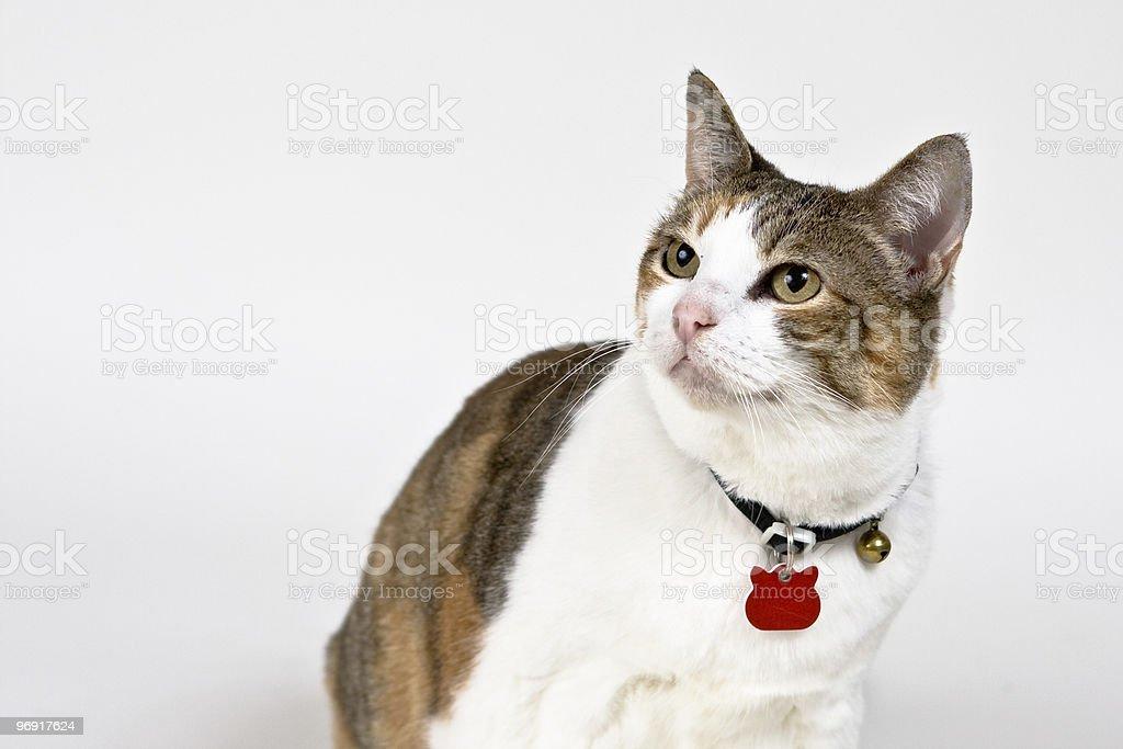 Cat, Isolated royalty-free stock photo