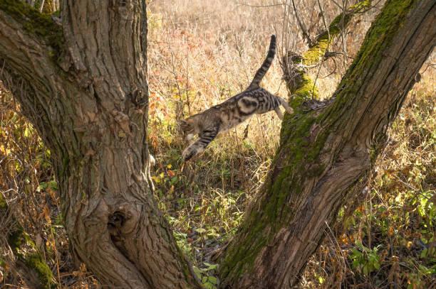 Cat jumping from a tree picture id1062889380?b=1&k=6&m=1062889380&s=612x612&w=0&h=ao8zvdsp 6rdykaicyprjdiyy1jahg5atevuudb5k7m=